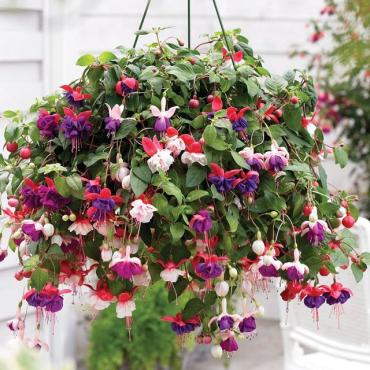Hanging Fuchsia Basket - SOLD OUT