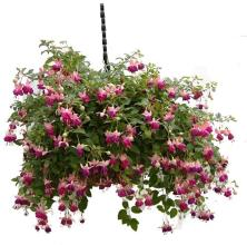 Blooming Hanging Fuchsia Basket